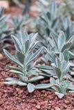 Kaktusowi sukulenty w plantatorze Obrazy Stock