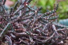 Kaktusowi sukulenty w plantatorze Fotografia Stock