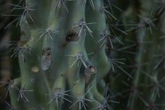 Kaktusowi tekstura ciernie zdjęcia royalty free