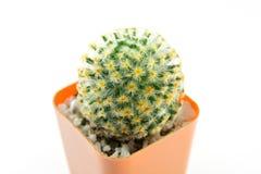 Kaktusowy Biały tło Obrazy Royalty Free