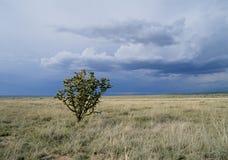 kaktusowy cholla Obrazy Stock