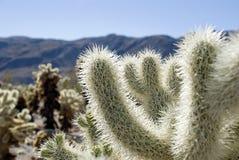 kaktusowy cholla Zdjęcie Royalty Free