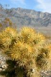 kaktusowy cholla ogródu Joshua park narodowy drzewo Zdjęcia Stock