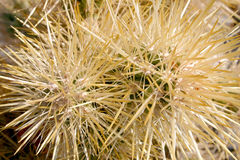 kaktusowy cholla ogródu Joshua park narodowy drzewo Obraz Royalty Free