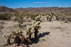 kaktusowy cholla pola doskakiwanie Fotografia Stock