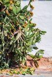 Kaktusowy dorośnięcie z dojrzenie owoc na ulicie Albufeira w Porto De Abrigo De Albufeira, Albufeira Podpalany Portugalia Zdjęcie Stock