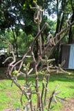 Kaktusowy drzewo Obrazy Royalty Free