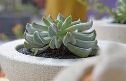 Kaktusowy Echeveria w białym garnku obrazy royalty free