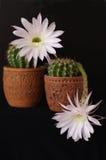 kaktusowy echinopsis kwitnie hybr zdjęcia royalty free