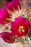 kaktusowy engelmann kwitnie jeża s Obrazy Royalty Free