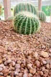 kaktusowy Fuerteventura zmielony Spain Zdjęcie Stock