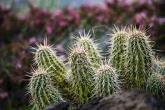 Kaktusowy gaj w Arizona obrazy royalty free