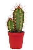 kaktusowy garnek dwa Obraz Royalty Free