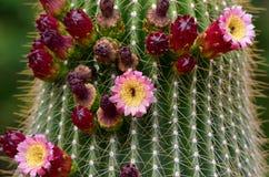 kaktusowy gigant Obraz Royalty Free