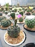 Kaktusowy Gymnocalycium w garnku zdjęcie royalty free