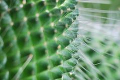 Kaktusowy królewiątko Obraz Royalty Free