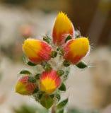 kaktusowy kwiat Obrazy Royalty Free