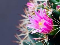 kaktusowy kwiat Obraz Royalty Free
