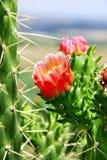 kaktusowy kwiat Obrazy Stock