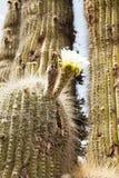 Kaktusowy kwiat Zdjęcia Stock