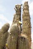 Kaktusowy kwiat Fotografia Stock