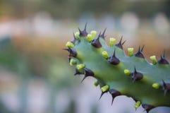 Kaktusowy kwiat i korzeń Obraz Stock