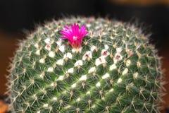 Kaktusowy kwiat, kaktus jest członkiem rośliny rodziny Cactaceae Zdjęcia Royalty Free