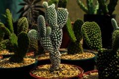 Kaktusowy kwiat na garnku obraz stock