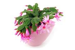 Kaktusowy kwiatu garnka Hatiora Gaertneri Zdjęcie Stock