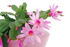 Kaktusowy kwiatu garnka Hatiora Gaertneri Zdjęcie Royalty Free
