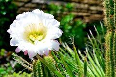 Kaktusowy kwiatu kwitnienie Obraz Royalty Free