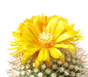 kaktusowy kwiatu mutabilis parodia obrazy stock