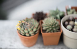 Kaktusowy kwiatu zakończenie up strzelał Zdjęcia Stock