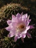 kaktusowy kwiecenie Zdjęcie Stock