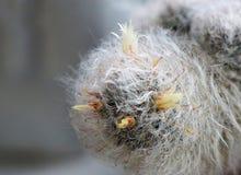 Kaktusowy kwitnienie Obraz Stock