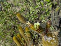 Kaktusowy kwitnienie Obrazy Stock