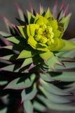 Kaktusowy kwitnienie w pustyni fotografia royalty free