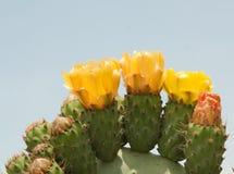 kaktusowy l kłująca opuntia bonkreta Fotografia Royalty Free