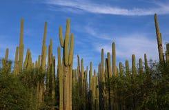 Kaktusowy las w Meksyk Zdjęcia Royalty Free