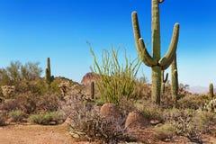 kaktusowy lasowy krajowy tonto fotografia stock
