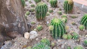 Kaktusowy mały drzewo Obraz Royalty Free
