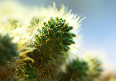 kaktusowy macro Obraz Royalty Free