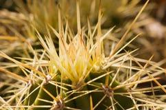 kaktusowy makro- kręgosłup Zdjęcia Royalty Free