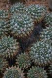 kaktusowy mallimeria Obrazy Royalty Free