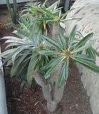 kaktusowy Mexico Fotografia Royalty Free
