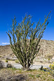 kaktusowy ocatillo Zdjęcia Royalty Free