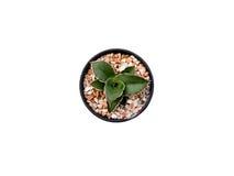 Kaktusowy odgórny widok odizolowywający na bielu Obraz Stock