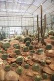 Kaktusowy ogród Fotografia Royalty Free