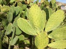 Kaktusowy peal fotografia stock