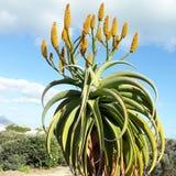 Kaktusowy piękno Obrazy Royalty Free